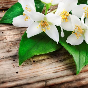 Why Jasmine Plant Is Good For Your Mental Health
